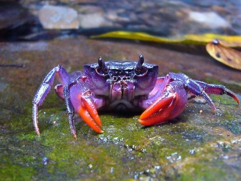 Purple Philippine Crabs are my muse :)